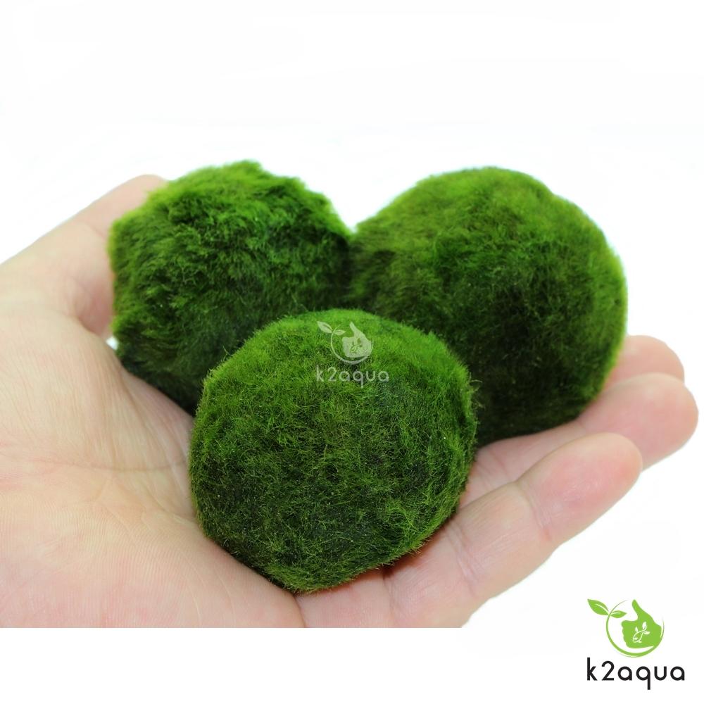 5 7cm giant marimo moss balls cladophora live aquarium for Marimo moss ball