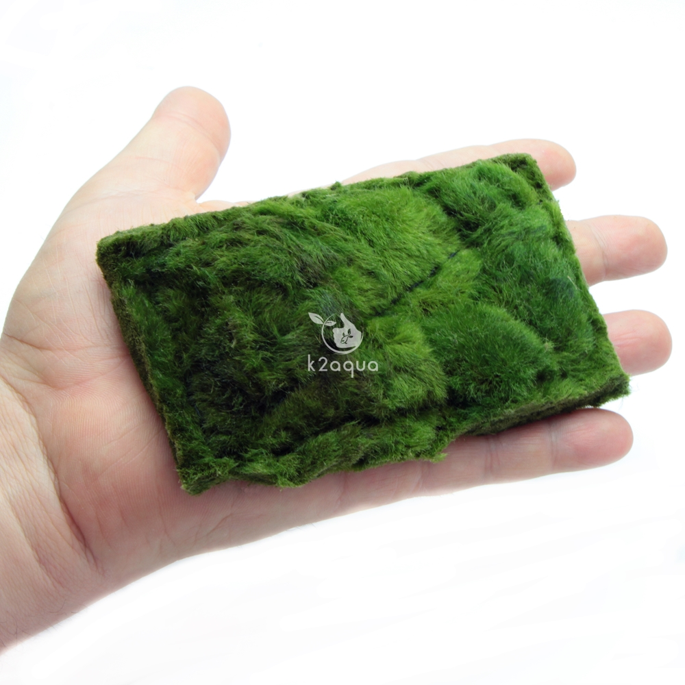 cladophora carpet on mesh marimo moss not ball live